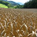 Feld in Böingsen