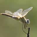 Libelle auf Kos