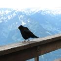 Vogel am Nebelhorn