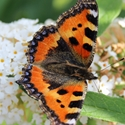 Schmetterling 3