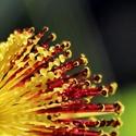 Blütenspitze