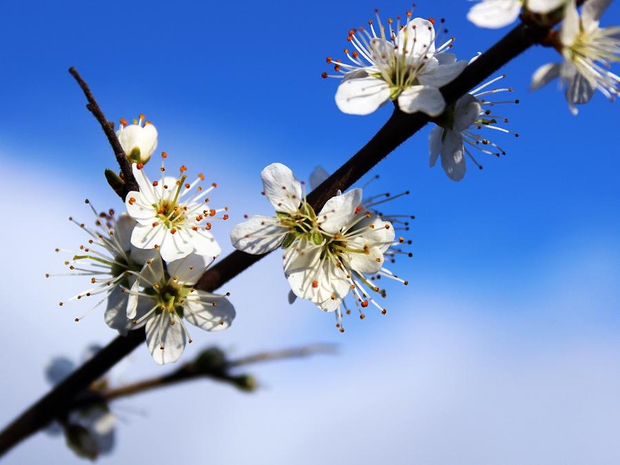 Weissdornblüte