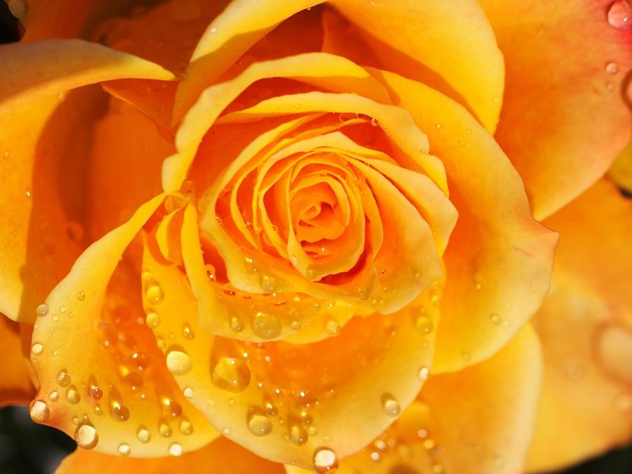 Rose 9316