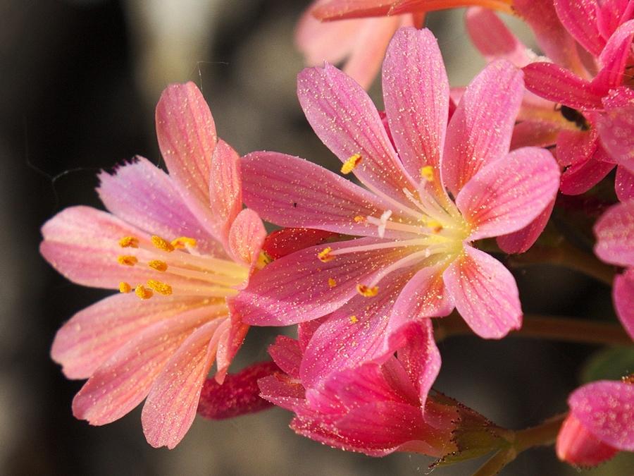 Blume 1083