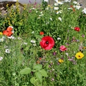Blumenwiese 6395