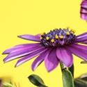 Blume 4015